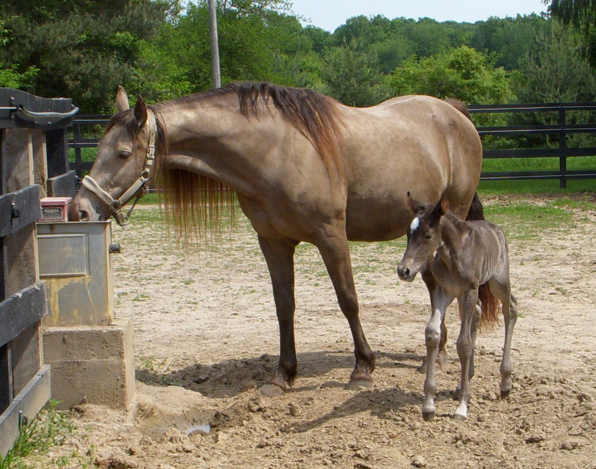 Gem had a gorgeous dark chocolate black silver foal with perfect